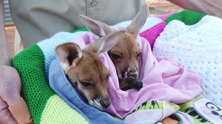 vezetett : Alice Springs, Northern Territory, Australia - Aug 29, 2019: two orphan kangaroos joeys at guided tour in the Kangaroo Sanctuary. Brolga has established the Baby Kangaroo Rescue Center. SLOW MOTION Stock mozgókép