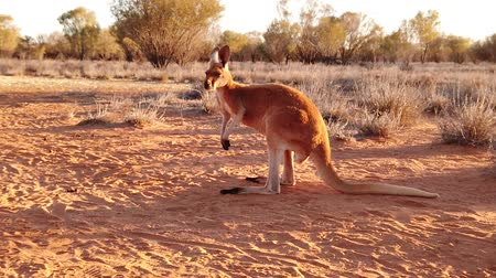 australian landscape : SLOW MOTION of adult red kangaroo, Macropus rufus, standing on the red sand of outback central Australia. Australian Marsupial in Northern Territory, Red Center. Desert landscape at golden sunset.