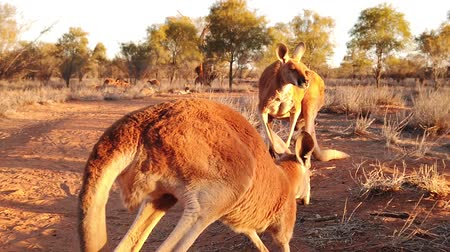 känguruh : SLOW MOTION of 2 red kangaroos jumping on red sand of outback central Australia in the wilderness. Australian Marsupial in Northern Territory, Red Centre. Desert landscape at sunset. Macropus rufus