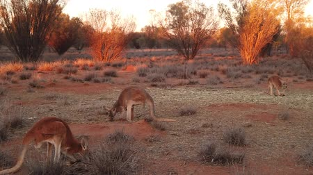 canguru : SLOW MOTION red kangaroos standing and eating in the wilderness. Outback of Central Australia. Australian Marsupial, Macropus rufus, Northern Territory, Red Centre. Desert landscape at sunset light. Vídeos