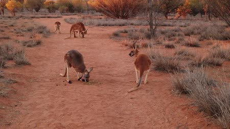 wallaby : SLOW MOTION of red kangaroos fighting for food on red sand of outback central Australia wilderness. Australian Marsupial in Northern Territory, Red Centre. Desert landscape at sunset. Macropus rufus