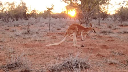 australian landscape : SLOW MOTION: side view of red kangaroo at sunset. Macropus rufus, on the red sand of outback central Australia. Australian Marsupial in Northern Territory in Red Center. Stock Footage