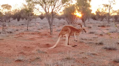 australian landscape : SLOW MOTION red kangaroo at sunset standing in the sun. Macropus rufus, on the red sand of central Australia. Australian Marsupial in Northern Territory in Red Center.