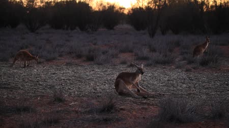 australian landscape : sitting red kangaroos, Macropus rufus, standing on the red sand of outback central Australia. Australian Marsupial in Northern Territory, Red Center. Desert landscape at twilight. Stock Footage