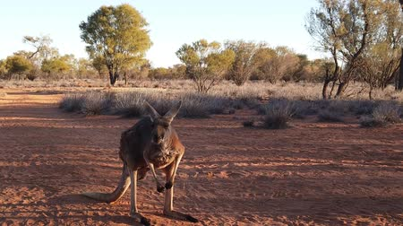 australian landscape : SLOW MOTION of a red kangaroo on the red sand of outback central Australia. Australian Marsupial in Northern Territory, Red Center. Desert landscape at sunset. Stock Footage