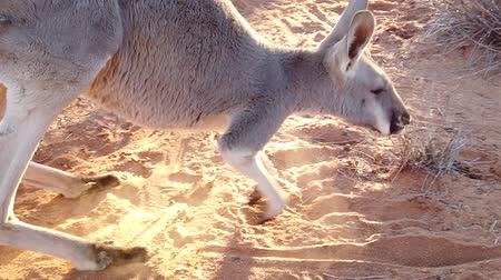 australian landscape : SLOW MOTION side view of red kangaroo, Macropus rufus, walking on the red sand of outback central Australia. Australian Marsupial in Northern Territory, Red Center. Desert landscape at golden sunset.
