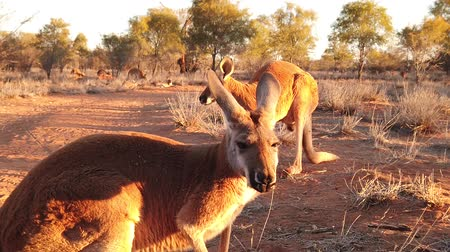 canguru : SLOW MOTION of 2 red kangaroos standing on red sand of outback central Australia in the wilderness. Australian Marsupial in Northern Territory, Red Centre. Desert landscape at sunset. Macropus rufus Vídeos
