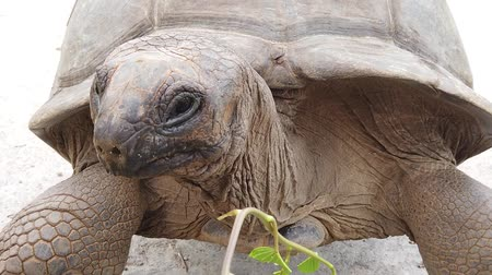 fome : close up feeding by hand a Aldabra Giant Tortoise, Aldabrachelys gigantea, a tortoise native to Aldabra atoll. Praslin in Seychelles in Indian Ocean. SLOW MOTION Vídeos