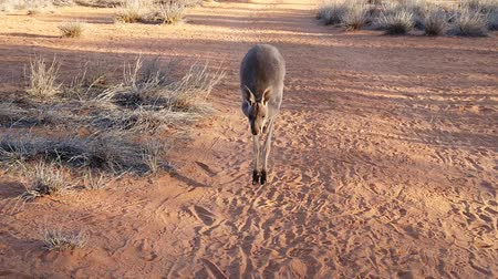 wallaby : SLOW MOTION Front view of red kangaroo jumping on red sand of outback Central Australia in the wilderness. Australian Marsupial, Macropus Rufus, Northern Territory, Red Centre. Desert at sunset.