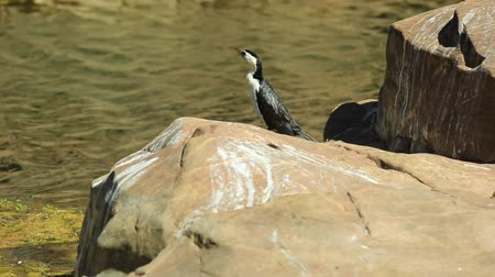 west macdonnell national park : Little Pied Cormorant, Phalacrocorax melanoleucos, standing on rock at Ormiston Gorge Water Hole, a important refuge for waterbirds, West MacDonnell Ranges, Northern Territory, Red Centre, Australia.