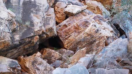 west macdonnell national park : SLOW MOTION: Australian outback wildlife. Black-footed rock wallaby jumping along the walking track into Simpsons Gap, West MacDonnell Ranges National Park, Northern Territory, Australia.