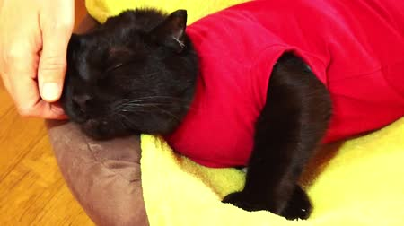 ronronar : hand petting an European black cat with shut eyes sleeping peacefully on green sofa background. Concept of comfortable house, relaxing and safety state of mind. SLOW MOTION. Stock Footage