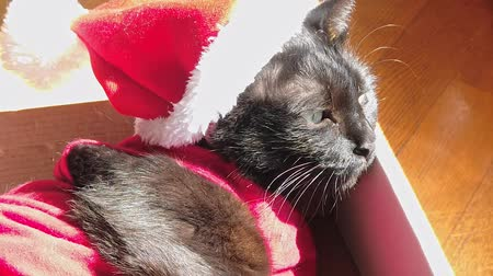 babona : SLOW MOTION: Black cat in Christmas dress and Santa Claus hat resting on its box. resting and looking down with copy space.