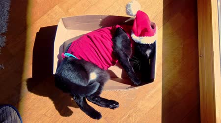 świety mikołaj : tired black cat in Christmas dress and Santa Claus hat on its box. Funny concept with copy space. Wideo