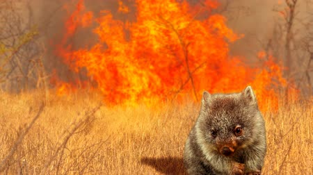 tasmania : Cinemagraph loop: Australian wildlife in bushfires of Australia in 2020. Wombat with fire on background. January 2020 fire affecting Australia is considered the most devastating and deadly ever seen Stock Footage