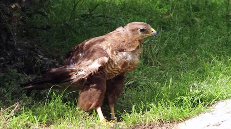 bussard : Common Buzzard Nahaufnahme Videos