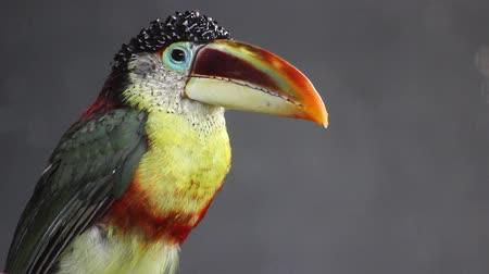collared : Close-up of a Curl-crested Aracari
