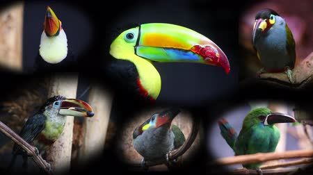 guyana : Portraits of Toucans, Collage - 4K Video Stock Footage