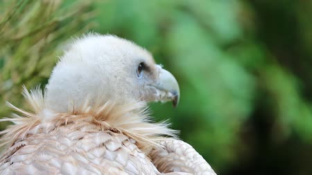 accipitridae : Close Up Portrait Of A Griffon Vulture (Gyps fulvus) Stock Footage