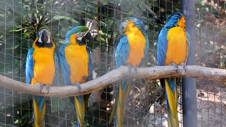 ara : Four Beautful Blue and Yellow Macaw (Ara Ararauna) Perched on a Tree Branch