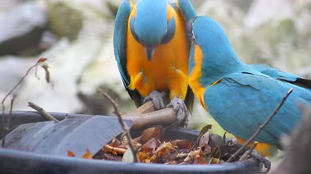 arara : Blue and Yellow Macaw Playing