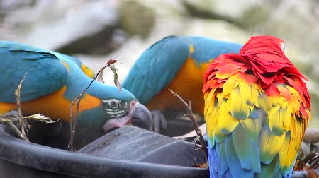 ara : Three Beautiful Parrots, Blue and Yellow Macaw and Scarlet Macaw Playing With a Brush and Flying Away
