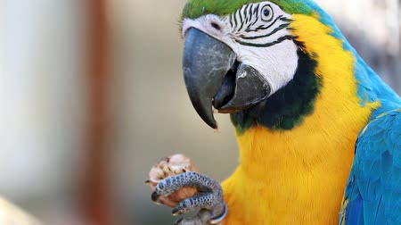 ara papagáj : Blue and Gold Macaw and Eating Walnut Cracking