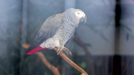 ara papagáj : Beautiful African Grey Parrot and Doing Whistling Sound Effects