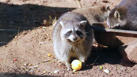 hlad : Funny Raccoon (Procyon Lotor) Eating Apple