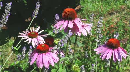 herbalist : Butterfly and bee on Echinacea flowers in the summer