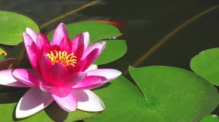 eau : Water lily  floating in the pond