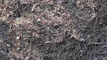 formicidae : Many ants in the forest Stock Footage
