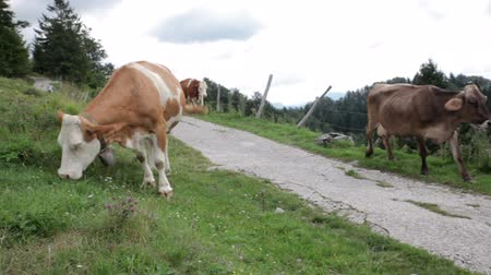 buzağı : Cows grazing in the Slovenian mountains