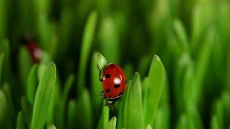 herbal : Red Ladybugs on green leaves