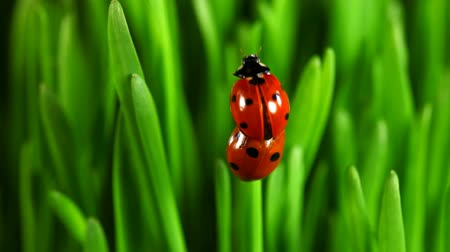 joaninha : Red Ladybugs on green leaves