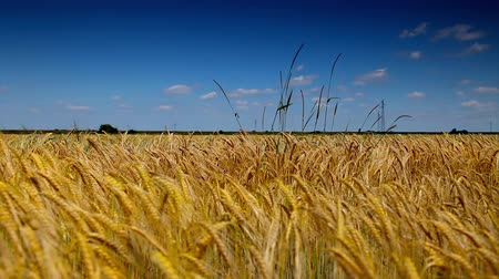 milharal : Corn Gold Wheat field and blue sky