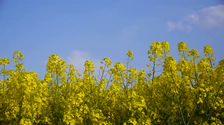 repce : Yellow field rapeseed Stock mozgókép