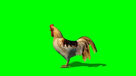 kakas :  Rooster  looks around  - seperated on green screen