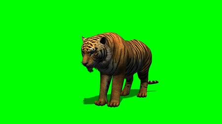 kaplan : Tiger eat - animal seperated on green screen