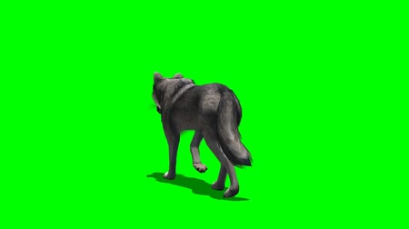 волк : wolf walks - seperated on green screen