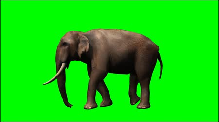 elefante :   Elephant walk - seperated on green screen