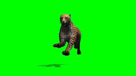 gepard : Cheetah runs - separated on green screen Wideo