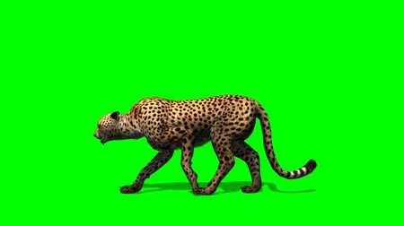 gato selvagem : Cheetah walks - separated on green screen Vídeos