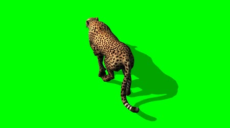 gepard : Cheetah walks - separated on green screen Wideo