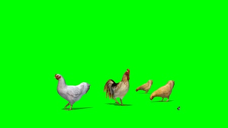 kakas : chicken with rooster and a sparrow - seperated on green screen Stock mozgókép