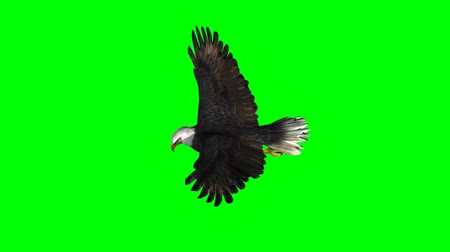 orel : Bald Eagle Flies  on green screen