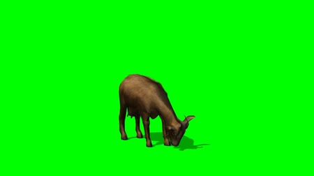 cabra : Goat eat -  green screen