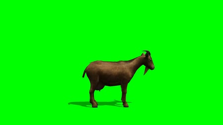 cabra : Goat looks around -  green screen