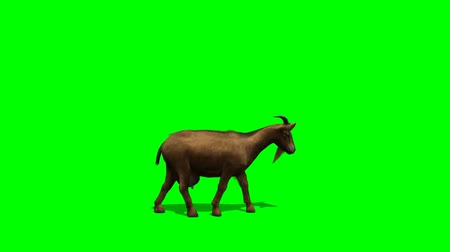 cabra : Goat walks -  green screen