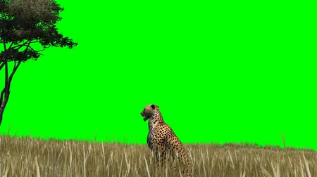 gepard : Cheetah in the savanna - green screen